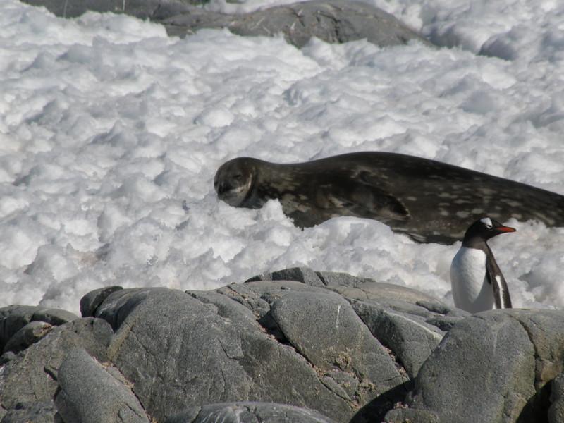 Happy Weddell seal