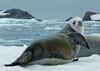 Seal (3)