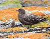 Skua South Georgia-14