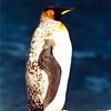 King Penguin on South Georgia, Unusual Dalmatian Coloring