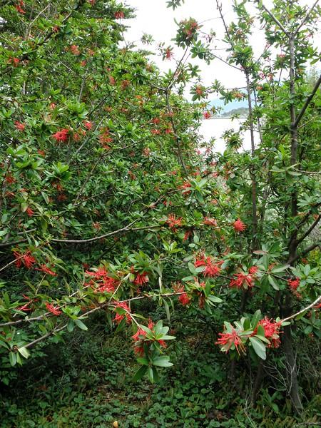 Chilean firetree