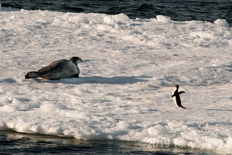Paulet-I-seal-&-penguin-on-ice-flow,-Antarctic-Sound
