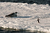 Paulet-I-seal-&-penguin-on-ice-flow,-Antarctic-Sound