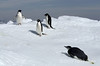 Young-emperor-penguin-&-3-adelie-penguins,-Wedell-Sea