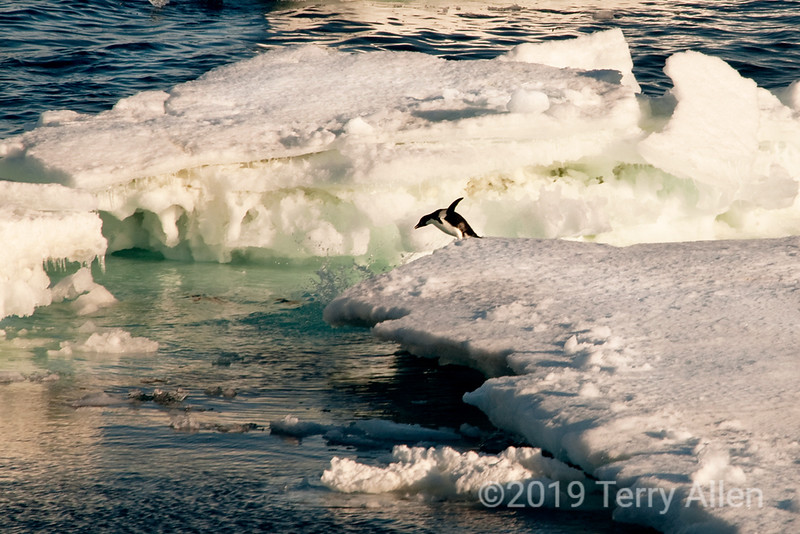 Paulet-I-diving-Adelie-penguin,-Antarctic-Sound