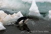 Adelie-penguin-leaping-onto-iceflow,-Wedell-Sea