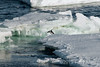Adelie-penguin-on-ice-flow-1,-Wedell-Sea