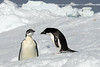 Young-emperor-penguin-&-adelie-penguin-2,-Wedell-Sea