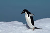 Adelie-penguin-on-ice-flow-3,-Wedell-Sea