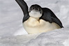 Emperor-penguin-with-raised-flipper,-Wedell-Sea