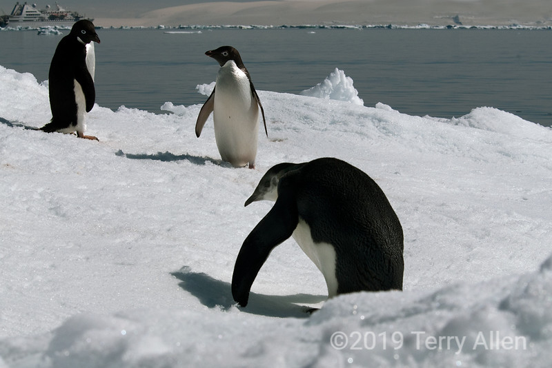 Emperor-penguin-&-adelie-penguins,-Le-Diamant,-Wedell-Sea