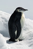 Young-emperor-penguin-2,-Wedell-Sea