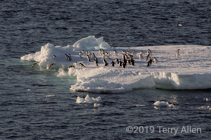 Near-Paulet-Island-penguins-on-iceflow,-Antarctic-Sound
