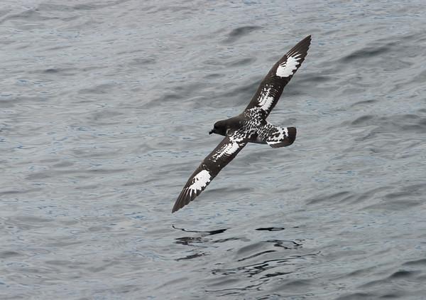 Cape Petrel against a patterned sea