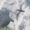 Snow petrel over sea-ice