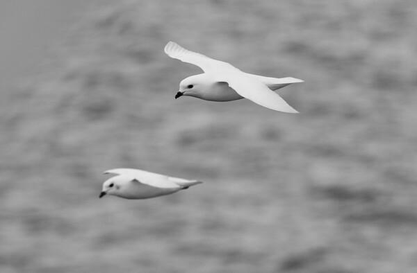 Snow Petrels, South Orkney Islands