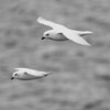 Snow Petrels, South Orkney Islands