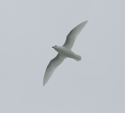 White on white, a snow petrel against the sky