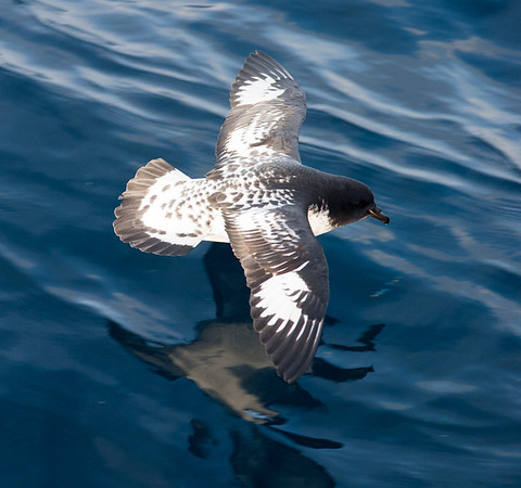 Cape Petrel with reflection