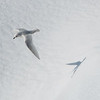 Snow petrel and shadow over sea-ice