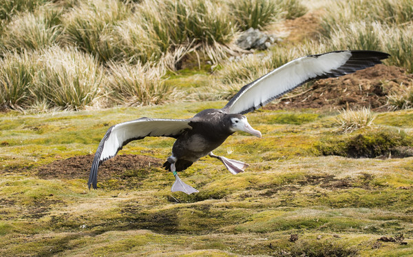 Year old wandering albatross learning to fly, Bird Island, South Georgia