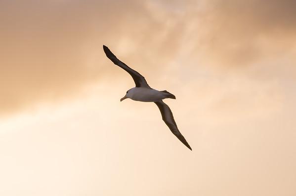 Black-browed albatross against sun-tinted clouds