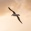 Black-browed albatross against sun-tinted clouds