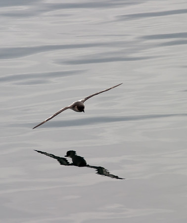 Cape Petrel and its reflection