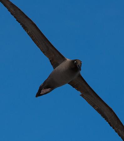 Light-mantled sooty albatross banks in flight