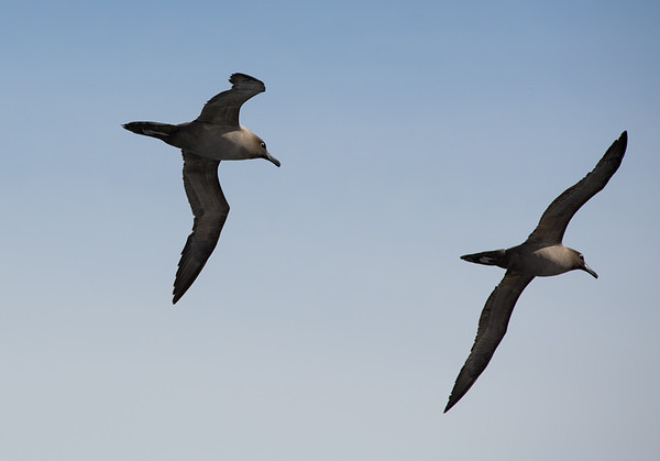 A pair of light-mantled sooty albatrosses in the late afternoon light