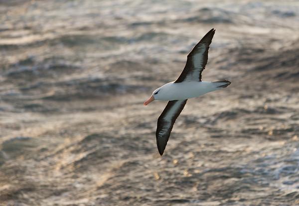 Black-browed albatross against a sunlit sea