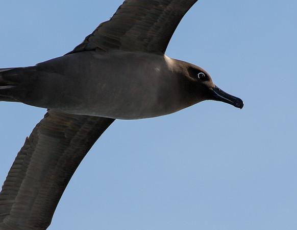 Head of light-mantled sooty albatross in flight