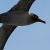 Head of light-mantled sooty albatross in flight