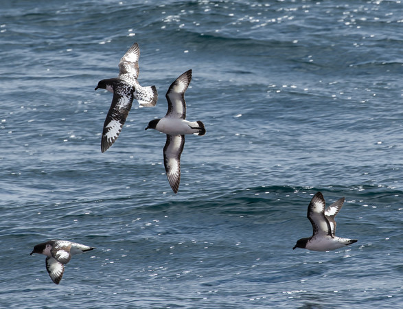 The ubiquitous Cape Petrel shows its wing patterns off to best effect in sunlight