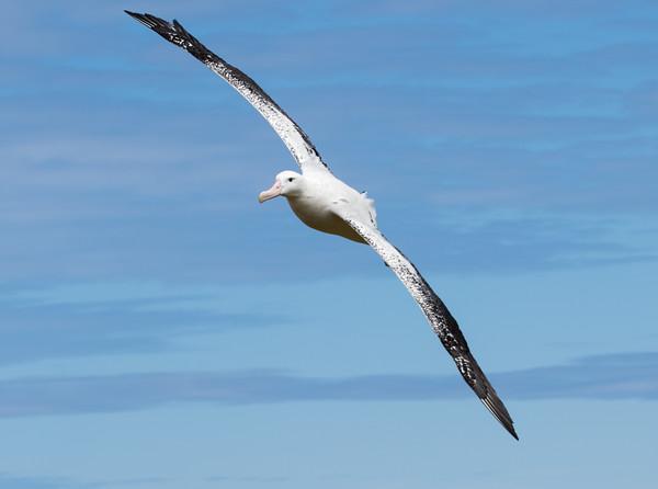 Wandering albatross in full flight, Bird Island, South Georgia