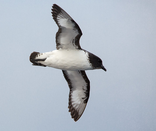 Cape Petrel against a grey sky