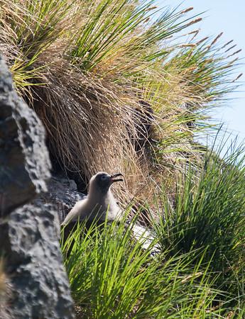 Light-mantled sooty albatross chick on nest