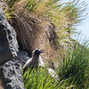 Light-mantled sooty albatross chick on nest