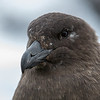 Skua up close