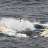 Little and large: a cape petrel flies over the top of a feeding humpback whale off the South Orkney Islands