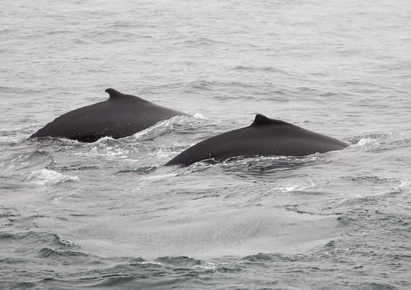 A pair of humpback whales show quite different dorsal fins and humps