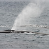 Pair of fin whales at the surface in the Scotia Sea