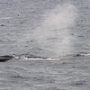 Fin whale showing the dark left side of the head