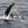 Humpback whale feeding at surface