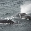 A pair of humpback whales come up alongside the RRS James Clark Ross and give us the once over
