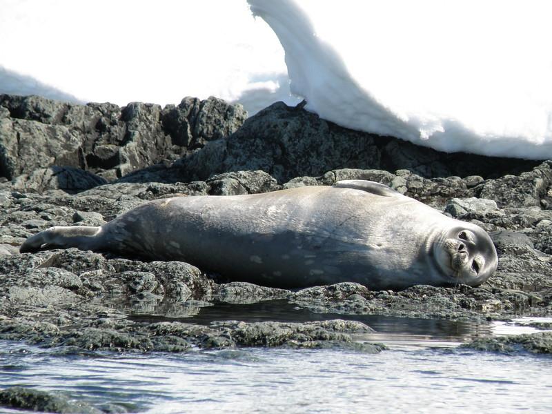 Relaxing Weddell seal