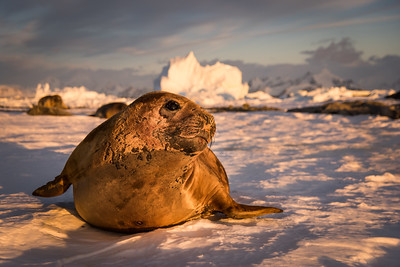 Young elephant seal on Adelaide Island, Antarctica