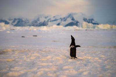 Adelie Penguin, Adelaide Island, Antactica