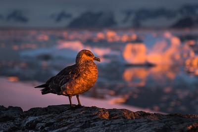 Juvenile Skua on Adelaide Island, Antarctica