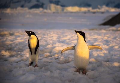 Adelie Penguins, Adelaide Island, Antactica